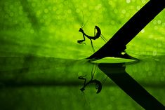 Praying Mantis  Basheer Sheick-Yousif