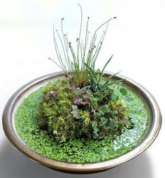 Pond in a pot....