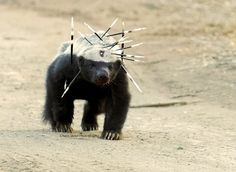 """""""This badass Honey Badger after a fight with a porcupine (Photo: Owen Slater)"""" Animals And Pets, Funny Animals, Cute Animals, Nature Animals, Honey Badger Tattoo, Tier Fotos, Nature Images, Nature Nature, Mother Nature"""