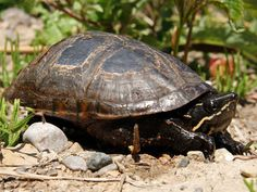 Common musk turtle (1-2) -- Almost fully aquatic turtles that don't reach a huge size