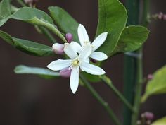 Meyer's Lemon Tree Flower by David Schexnaydre, via Flickr