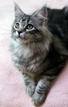 Maine Coon Reminds me of my cats Maggie and Cherokee. http://www.mainecoonguide.com/