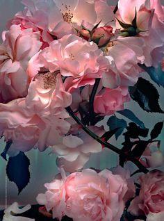 pink roses in full bloom Love Rose, My Flower, Pretty Flowers, Pretty In Pink, Pink Flowers, Pink Peonies, Pastel Roses, Perfect Pink, Art Flowers