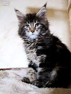 Pownee's Maine Coon Duesseldorf - Kitten Madness/Heaven