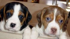 Chocolate Puppies Tricolor Dogs Pictures With Quotes https://i.redd.it/ckvr78u204xz.jpg