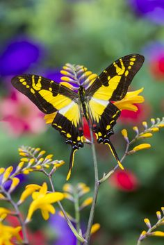 Tropical Butterfly Eurytides thyastes