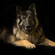 1984 Best Anns German Shepherd Rescue Sanctuary Images