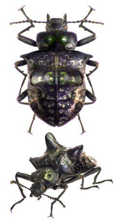 Theracerus nodosus