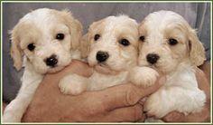 Cavachon puppies