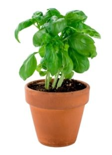 How to grow and harvest Basil indoors. Mist the leaves with room-temperature water. Well-drained potting mix, such as cactus mix.Want to know how to grow basil with fluorescent light? Just keep the light 6 in (15 cm) above the plant and leave it on for 14 hours a day. This is the equivalent of 6 hours of sun.