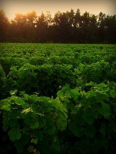 Juillet: le vigneron rogne pour concentrer la sève dans les raisins