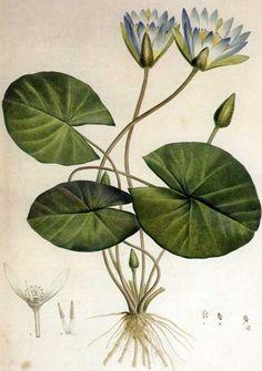petitcabinetdecuriosites:  (via Picturing Plants and Flowers: Redouté: Nymphaeaceae … | blue botani…)