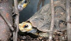 Home's Hingeback Tortoise. Small (6-9 inches), require smaller habitat (2x4 feet). Hard to find for sale.