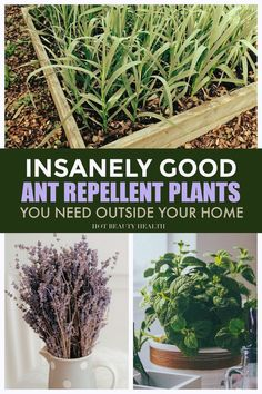 Plants That Repel Ants, Buy Plants, Outdoor Plants, Indoor, Amazing, Health, Easy, Interior, Sun Plants