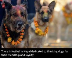 Why don't we have this everywhere? Tihar festival. There is a festival in Nepal dedicated to thanking dogs for their friendship and loyalty