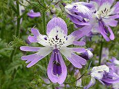 Borboletinha – (Schizanthus pinnatus)