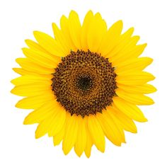 Sunflowers. COLORS: yellow, orange, brown, light lemon, russet   SEASON: May to November, peak in summer   SCENT: none   COST: $$   MEANING: loyalty, pride, adoration.