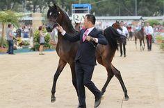 Arabian Horse - Pitonisa AS - Menton