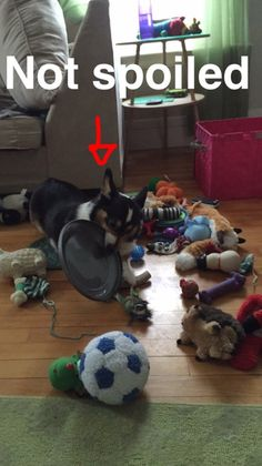 Kipper The Corgi... Hahahaha.  Our Scout dog is so spoiled...   .