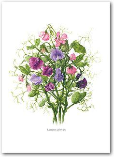 Heather Raeburn Botanical Prints & Greeting Cards | Sweet Pea | Botanical Prints | Heather Raeburn Inspirations