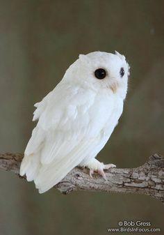 Albino screech owl by Bob Gress, www.BirdsinFocus.com