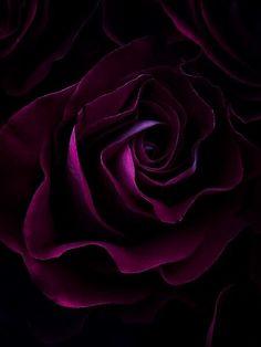 Dark magenta Rose