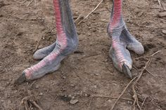 Killer Feet: Our Ostrich.    Photo by Kimberlee. Can you imagine what a T Rex foot would look like?? Wow...