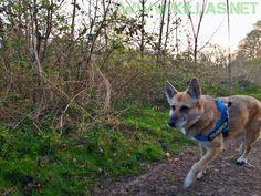 #Frühsport #Stadtwald #Iserlohn #Hund #Schäferhund
