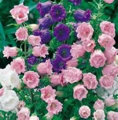 Canterbury bells (campanula medium)...constancy  Biennial, will self-seed, tall, may need staking