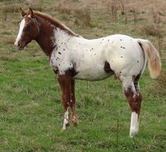 Appaloosa foals at Sparkling Acres Appaloosa Stud - New Zealand - Skip's Daytona Sunset