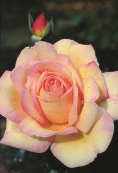 Our Little Acre: For Love of a 'Peace' Rose. History of the 'Peace' rose. The one in my garden is in bloom today. Beautiful Rose Flowers, Love Rose, Beautiful Flowers, Flowers Nature, Yellow Roses, Pink Roses, Ronsard Rose, Peace Rose, Rose Pictures