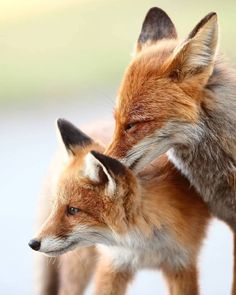 red fox mama and pup