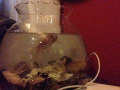 My gold fish