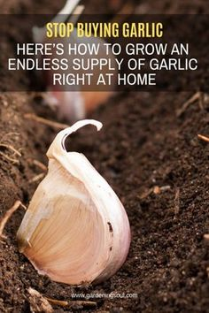 Stop Buying Garlic. Here's How To Grow An Endless Supply Of Garlic Right At Home Stop Buying Garlic. Here's How To Grow An Endless Supply Of Garlic Right At Home,Permaculture Garlic is a simple food that has strong healing properties. Growing Veggies, Growing Plants, Growing Fruit Trees, Gardening Supplies, Gardening Tips, Gardening Books, Flower Gardening, Bucket Gardening, Beginners Gardening