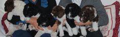 Gos d'aigua Les Pedreres