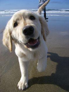 Cucciolo di #GoldenRetriever in spiaggia. #cani