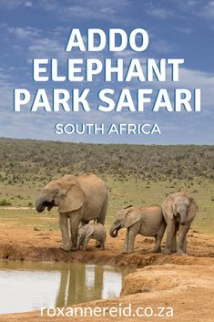 Find everything you need to know about an Addo Elephant Park safari. Uncover things to do in Addo like a Big Five safari, self-drive game drives and guided drives to horse riding, hiking, bird-watching, whale-watching, 4x4 route, eco-boat cruises and more. Choose your Addo accommodation at camps like Addo Main Camp, Spekboom Tented Camp, Nyathi Camp Addo, Matyholweni Camp, and luxury lodges. Discover how to get around, best time to visit Addo, and tips for your Addo Elephant Park safari. Cape Town South Africa, East Africa, North Africa, Kruger National Park, National Parks, Elephant Park, African Safari, Africa Travel, Luxury Lodges