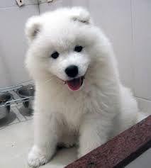 samoa puppy - Google Search