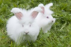 Rabbit of the breed German Angora