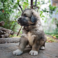 sarplaniac photo | Sarplaninac puppies are available, feel free and contact with us for ...