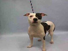 SAFE 12-30-2015 by Amsterdog Animal Rescue --- Manhattan Center ROXY – A1061148  FEMALE, WHITE / BR BRINDLE, PIT BULL MIX, 3 yrs STRAY – STRAY WAIT, NO HOLD Reason STRAY Intake condition EXAM REQ Intake Date 12/22/2015