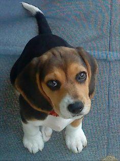 Always loved Beagles.