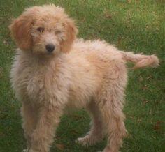 i want one!!  Miniature goldendoodle