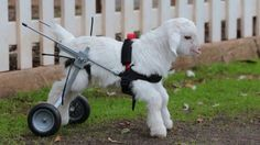 Baby Goat in a Wheelchair Could Not Be Happier or More Adorable