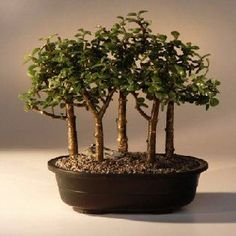 Baby Jade Bonsai Tree Five Tree Forest Group  (Portulacaria Afra) Mothers Day Sale  #ILoveMom #awesomesauce #Mothersday
