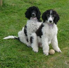 1000 images about oodles of poodles on pinterest for A pet salon vestal ny