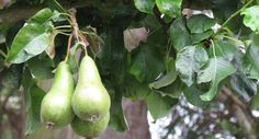 Tui Garden | Fruit Tree Pruning Guide