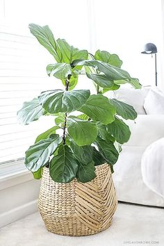The fiddle leaf fig tree is an ideal indoor plant that could be a low upkeep pla. , The fiddle leaf fig tree is an ideal indoor plant that could be a low upkeep pla. The fiddle leaf fig tree is an ideal indoor plant that could be a . Decoration Shabby, Decoration Plante, Basket Decoration, Cool Plants, Potted Plants, Plants Indoor, Plant Pots, Baskets For Plants, Fig Plant Indoor