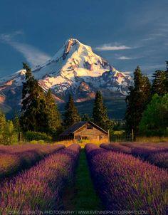 Mt. Hood and lavender fields (Oregon) by Greg Boratyn - 500px