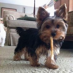 Theodore the Yorkie <3 This guy even has the name I want to give my baby, if it's a boy!